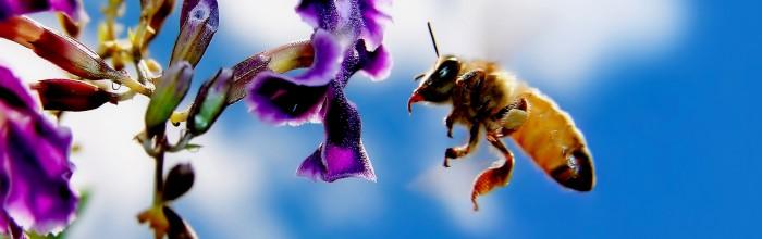 очень красивая пчела